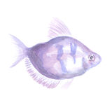Violet  small fish. Violet aquarium small fish a ternetion on a white background. Watercolor painting Royalty Free Stock Photos