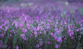 Violet Small Flowers Meadow Close para arriba Fotos de archivo