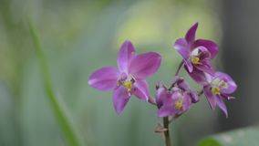Violet small orchid in woods stock video