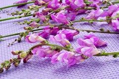 Violet snapdragon. Some violet snapdragon flowers on a violet background Stock Photography
