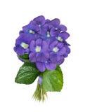 Violet sneeuwklokje Royalty-vrije Stock Foto's