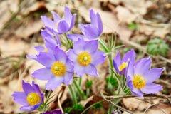 Violet sneeuwklokje op de lentegrond stock afbeelding