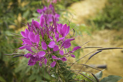 Violet Spider flower - Cleome hassleriana in the garden Stock Image