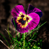 Violet Spring Closeup Arkivfoto