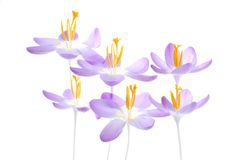 Violet spring crocus Royalty Free Stock Photos
