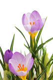 Violet spring crocus flower Stock Images