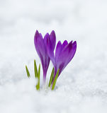 Violet spring crocus Stock Photos