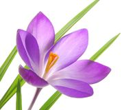 Violet spring crocuses Royalty Free Stock Photo