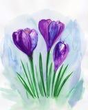 Violet spring crocuses. Floral greeting card. Violet floral bouquet.Watercolor illustration royalty free illustration