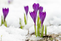Violet spring crocuses Royalty Free Stock Photography