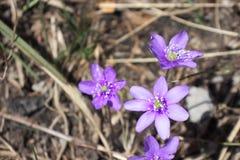 Violet spring flower. (Hepatica Nobilis) blooming stock image