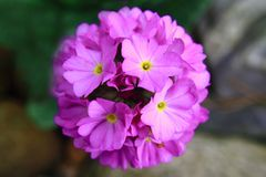 Violet spring flower from my garden Stock Image