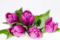 Violet spring flower tulips isolated on white background Stock Photography