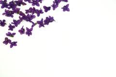 Violet Spring Flowers lizenzfreies stockbild