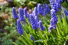 Violet Spring Flowers azul - Muscari, jacinto de uva Foto de Stock Royalty Free