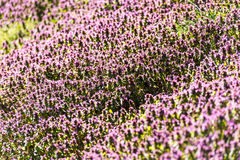 Violet Spring Flowers Field Blossom Photos libres de droits