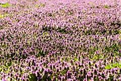 Violet Spring Flowers Field Blossom Photographie stock libre de droits