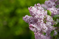 Violet, spring flowers of lilac Royalty Free Stock Photos
