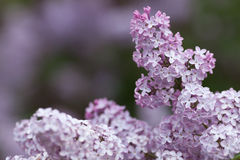 Violet, spring flowers of lilac Stock Photos