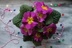 Violet spring flowers. Flowers are our beautiful friends, air cleaners and cute inspiration Royalty Free Stock Photography