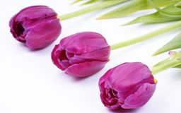 Violet spring tulips Royalty Free Stock Photography