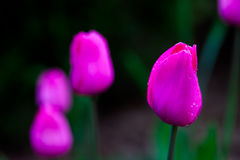 Violet spring tulips Royalty Free Stock Photo
