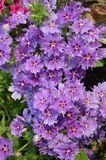 Violet star Phlox. With star shaped flowers Stock Photography
