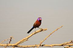 Violet on a Stick - Waxbills, Violeteared Stock Image