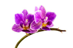 Violet streaked orchid flower Royalty Free Stock Photo