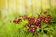 Violet of sunny day. Flowerbed of purple flowers in summer royalty free stock image
