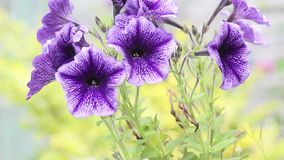 Violet Surfinia petunia close up, HD footage stock video