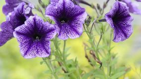 Violet Surfinia petunia close up, HD footage stock video footage