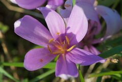 Fabulous closeup violet Swiss flower with six yellow stamens and six petals in meadow