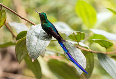 Violet-tailed Sylph (Aglaiocercus Coelestis) Stock Photography