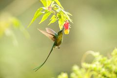 Violet-tailed Sylph howering next to yellow and orange flower, Colombia hummingbird with outstretched wings,hummingbird sucking ne. Ctar from blossom,animal in stock photography