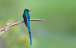 Violet-tailed Sylph Stock Photo
