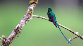Violet-tailed Sylph royalty free stock photo