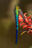 Violet-tailed Sylph. Perched on flowers showing the long tail, Ecuador Royalty Free Stock Photos