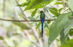 Violet-tailed Sylph Perched on a Tree Royalty Free Stock Photo