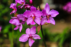 Violet terrestrial orchid Stock Image
