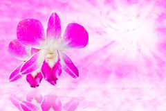 Violet thai orchids. Stock Photos