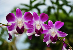 Violet thai orchids flowers Stock Images