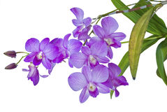 Violet thai orchids on isolate. Royalty Free Stock Photo