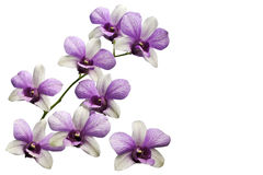 Violet thai orchids on isolate. Stock Image