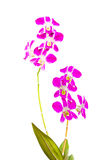 Violet thai orchids on isolate. Royalty Free Stock Photos
