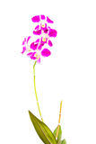 Violet thai orchids on isolate. Royalty Free Stock Images