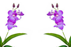 Violet thai orchids on isolate. Stock Photos