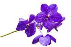 Violet thai orchids on isolate. Stock Photography