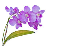 Violet thai orchids on isolate. Stock Images