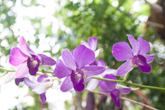 Violet thai orchids in Thailand Royalty Free Stock Photography